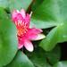 Bashful waterlily