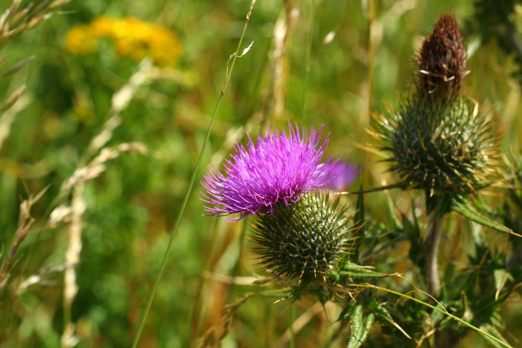 Scottish national flower: The Thistle | Thistle is the ...