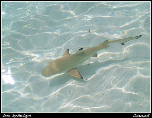 Friendly Sharks Of Maldives Shark Biyadhoo Lagoon
