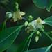 Cleyera japonica v. wallichiana