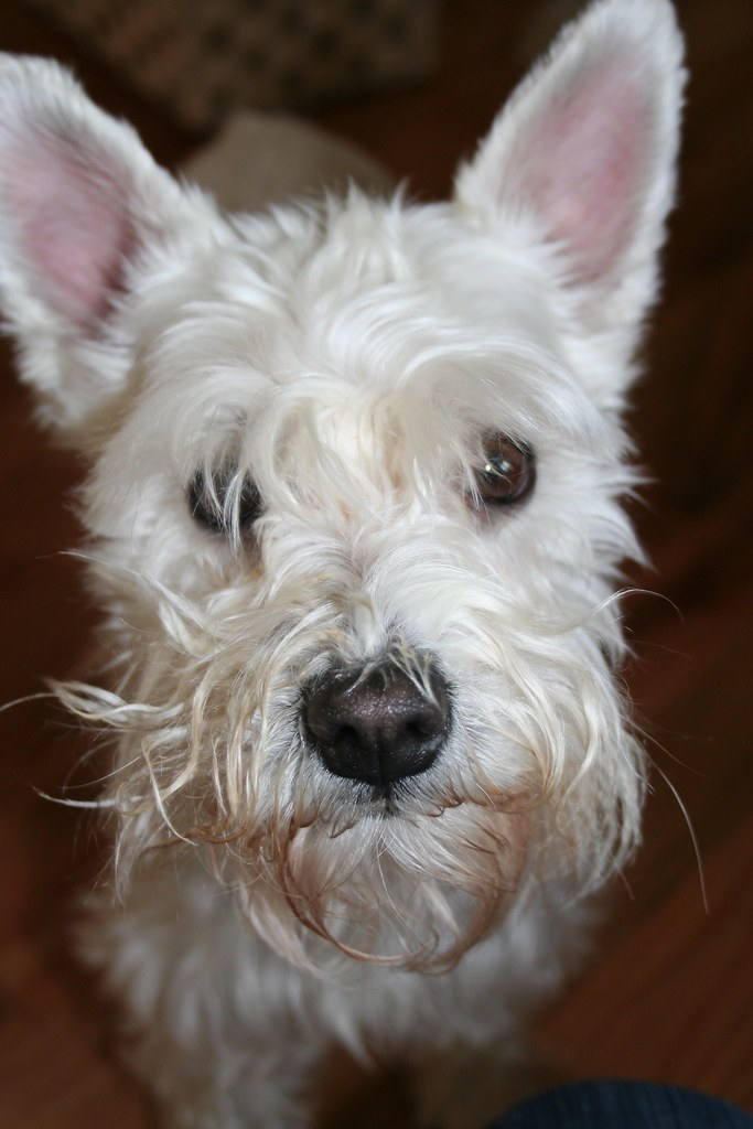 Our cute little Maisie | Since we own our home now, we decid ... Miniature Schnauzer Utah
