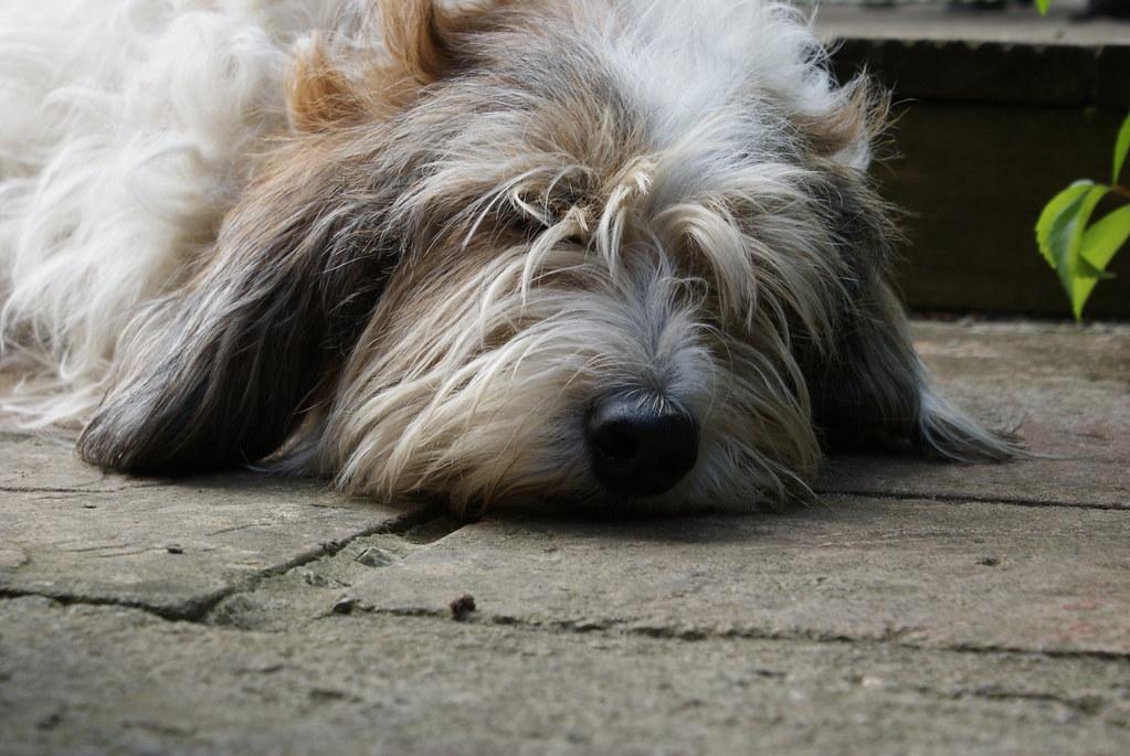 Maisey petit basset griffon vendeen my dog nathan150 - Petit basset griffon vendeen breeders toulon ...