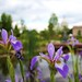 Virginia Blue Flag Irises at USBG