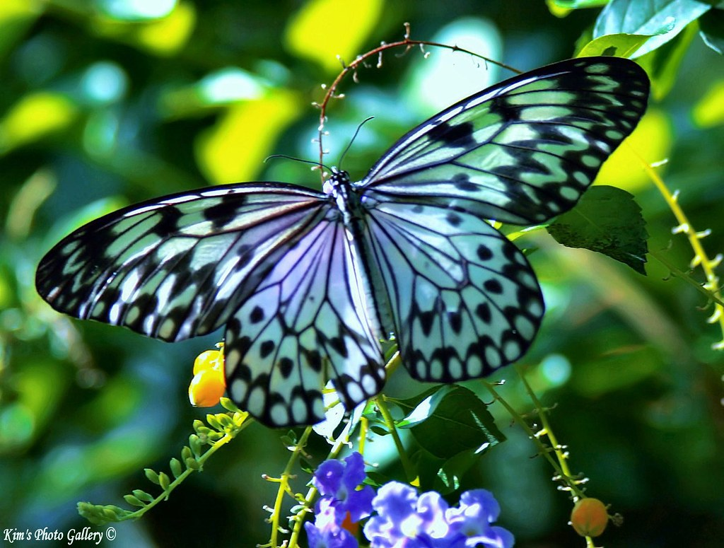 Wing Spand Of A Beautiful Butterfly!!! | I hope you all ...
