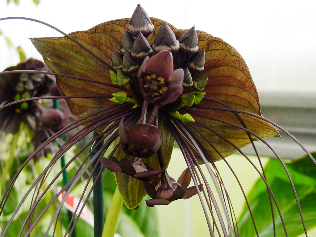 Bat Flower Tacca chantrieri at the Gallup & Stribling Or…