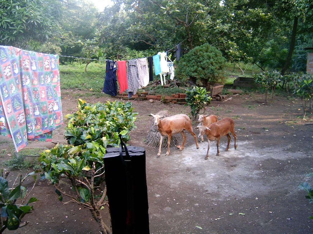 backyard laundry goats this is the backyard of our house