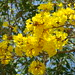 Flor silvestre 121 (1) [Wild flower 121 (1)] (Araguaney)