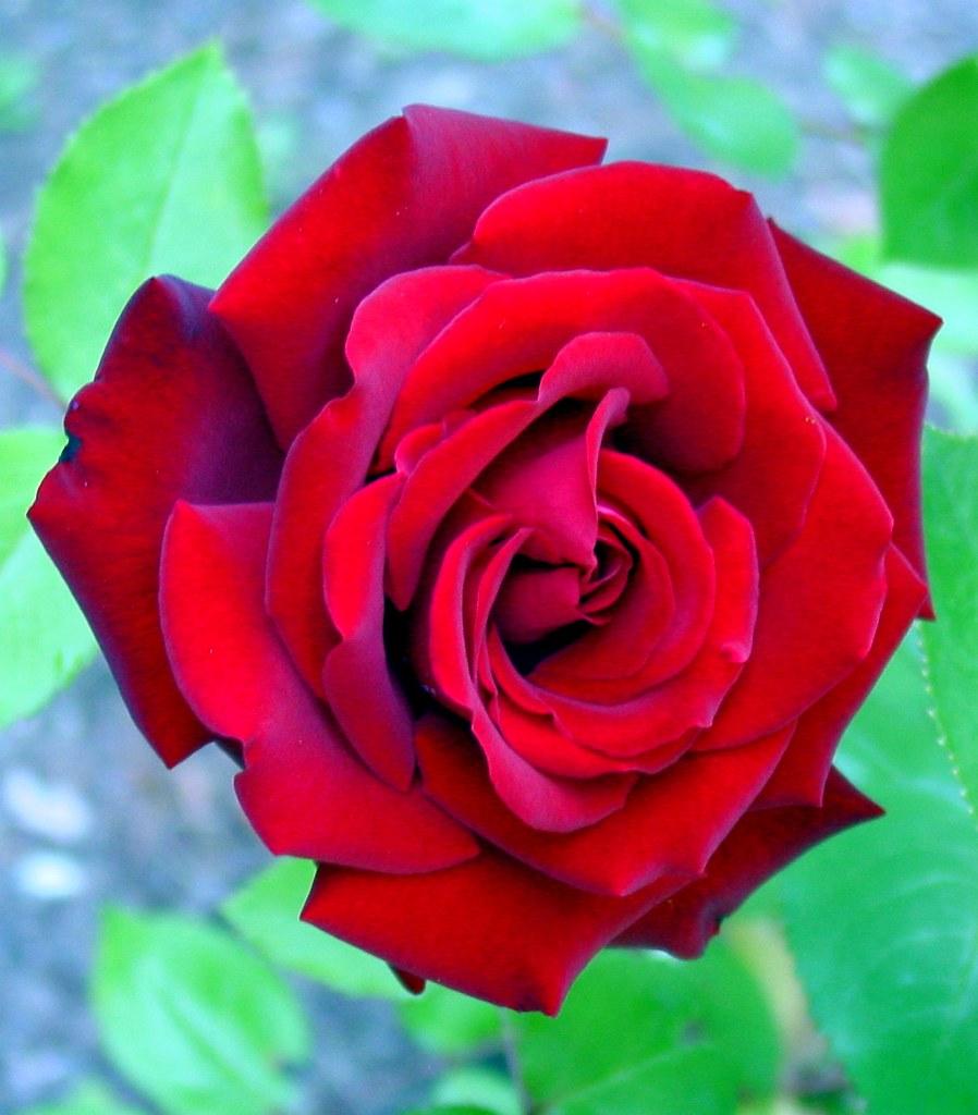 ingrid bergman rose hybrid tea rose tile432 flickr. Black Bedroom Furniture Sets. Home Design Ideas
