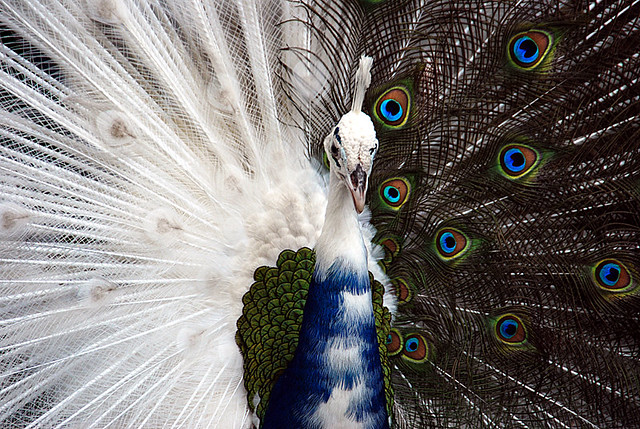 Blue and white peacock | This colour combination is what ...