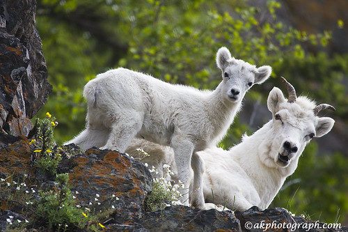 Dall Sheep | by akphotograph.com