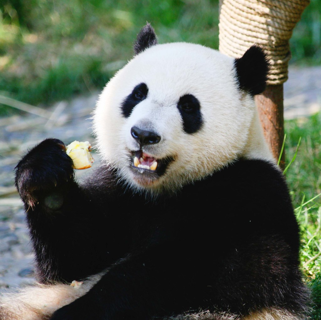 Giant Panda Bear Eating Apples | This Panda lives in the ... - photo#20