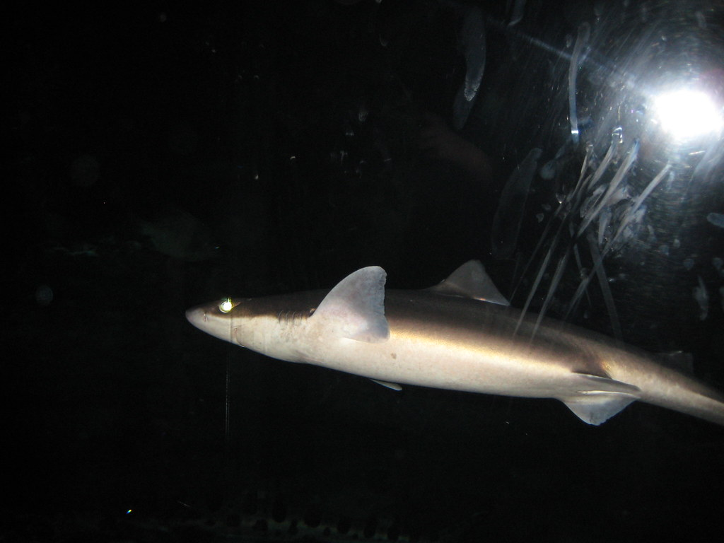 Shark in a tank small shark swimming in a very dark tank Small sharks for fish tanks