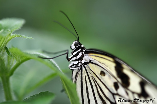 ^Love is like a butterfly, hold it too tight, it'll crush, hold it too loose, it'll fly^ | by Adettara Photography