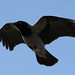 Hooded crow slow-flying