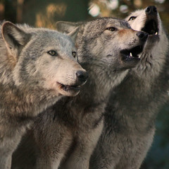Howling Grey Wolves | by Gary's Photos. 3.5 Million views