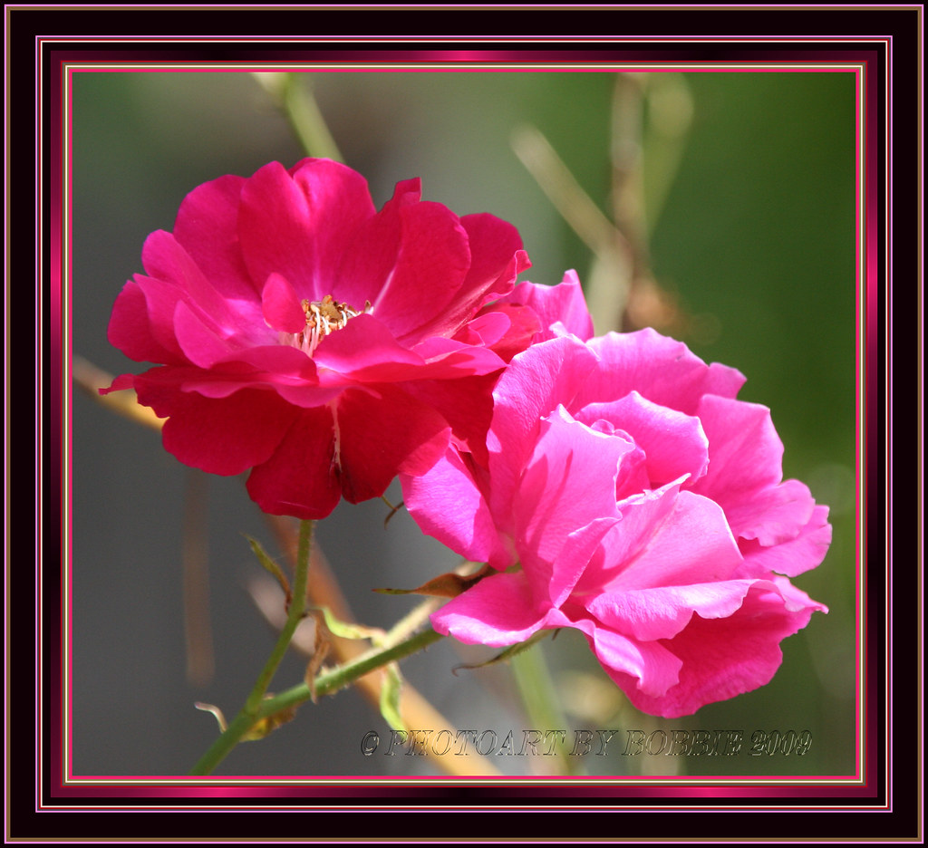 Red and Pink Hanging Out Together | Red and pink Roses are ...
