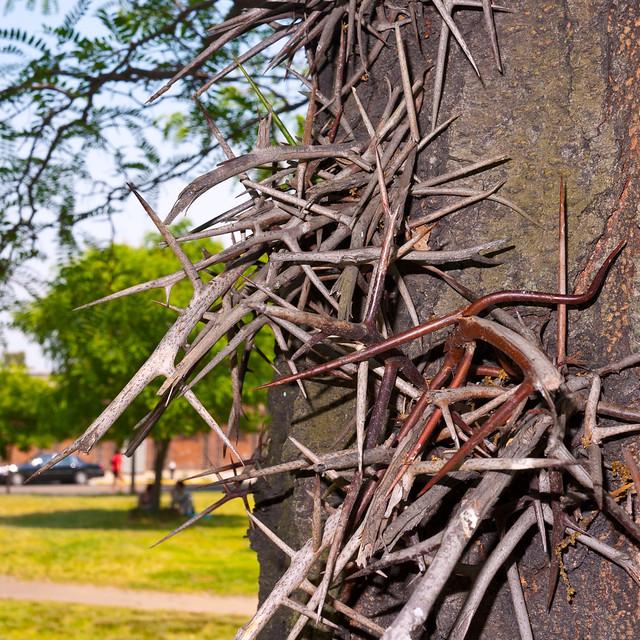 Tree Thorns Brooklyn 2011 Flickr Photo Sharing