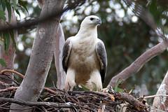 Female On Nest, 4th September
