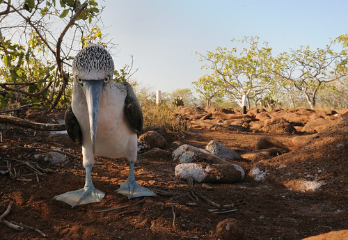 Guardian of the Booby Trail | by Scott Ableman