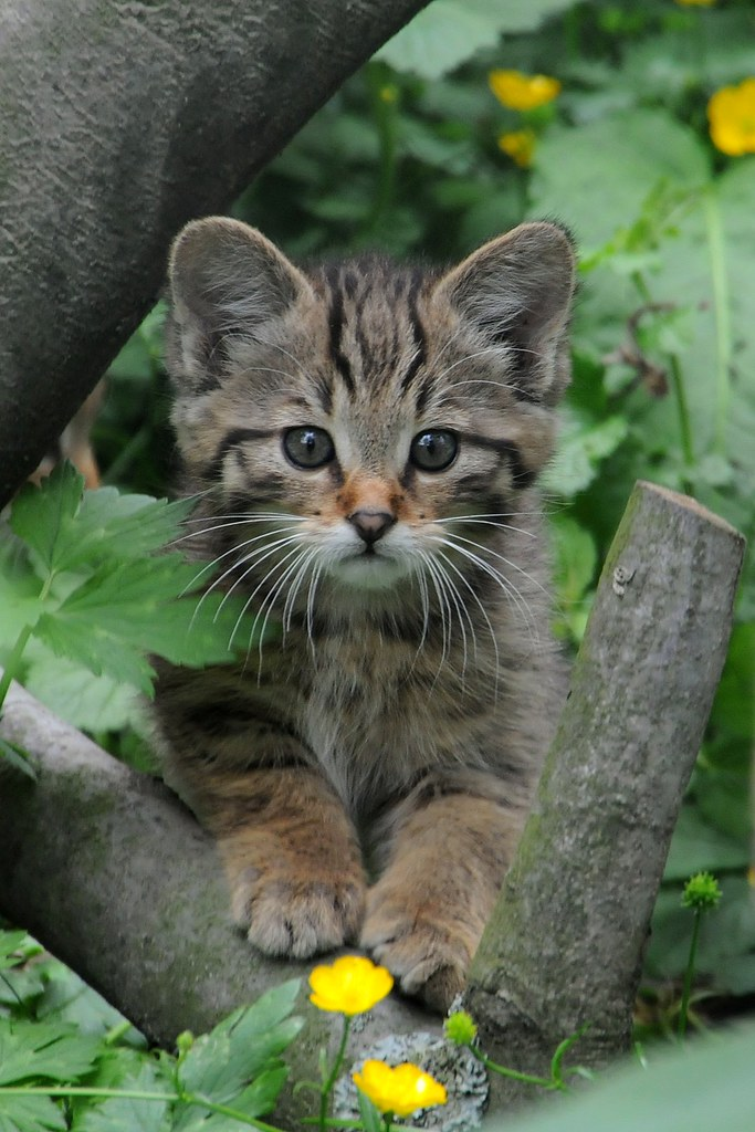 Junge Wildkatze | verwendet auf zooborns com und ...
