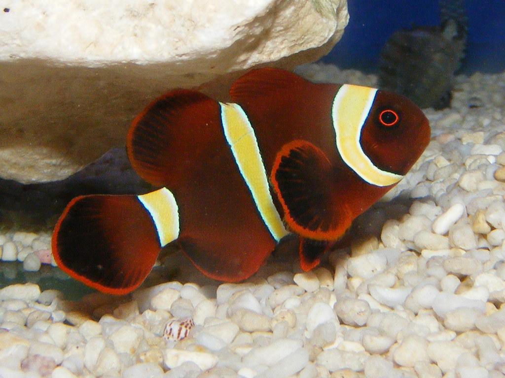Maroon clown fish premnas biaculeatus size approx 8cm for Clown fish size
