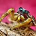 Adult Male Jumping spider (Pelegrina pervaga)