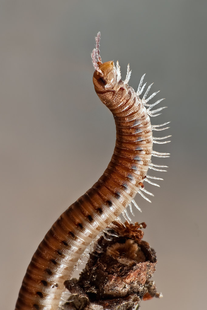 Millipede With Long Legs Millipede | A 2...