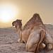 Arabian Camel at Sunset