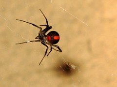Redback spider | by Wiki.will