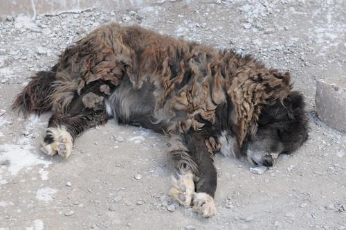 Half Dog Half Lion 3641071393_4ef945c5fc.jpg