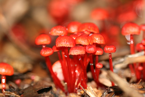 Mycena viscidocruenta (Ruby Bonnet) | by Arthur Chapman