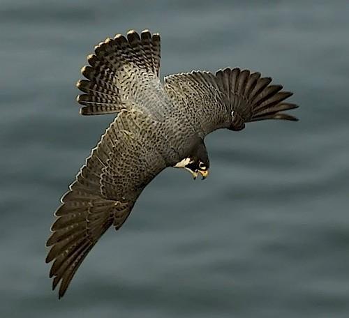 Falcon Attack | Tiercel Peregrine Falcon (Falco peregrinus ...