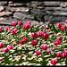 Tulip Days '09 Istanbul