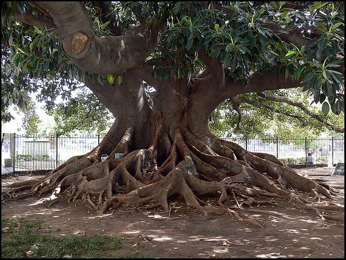UMBU (Ombu) TREE, Congresso, Buenos Aires, Argentina