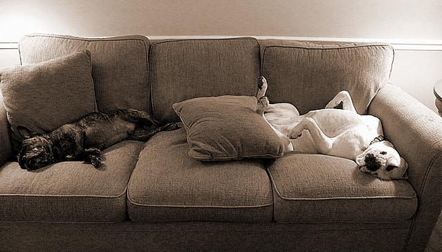two dogs on a couch nigel french bulldog on left and