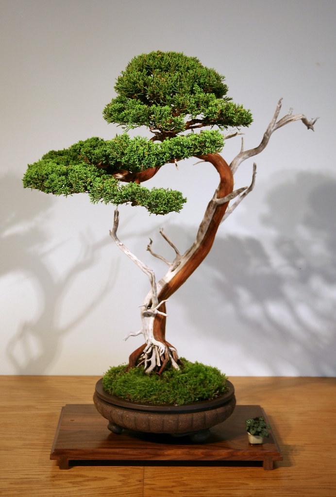 Sargent Juniper (Juniperus chinesis var. sargentii) | Flickr