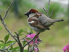 FBI: P2490673 MALE HOUSE SPARROW HANGIN OUT ON A BRANCH BY THE SEA GIRT LIGHTHOUSE | by Frozen in Time photos by Marianne AWAY OFF/ON