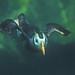 Swimming Puffin (Tufted Puffin)