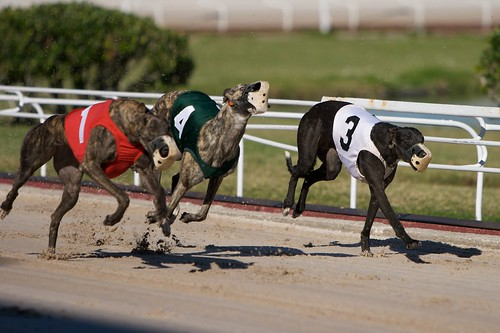 Greyhound Racing | by Mamboman1