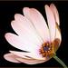 Flower: Pink Osteospermum