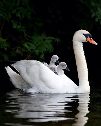 Swan and Cygnets | by benjamincclark