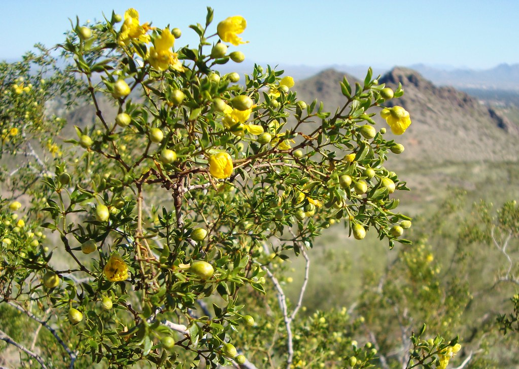 Creosote Bush in bloom...