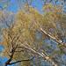 pair of birches