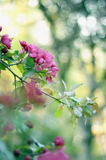 Apple Blossoms | by Billy Wilson Photography
