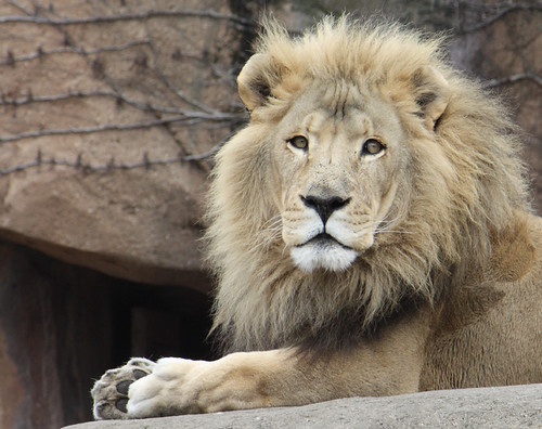 Lion's Face | A pensive lion at Lincoln Park Zoo, Chicago ...