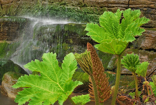 Fountain & Gunnera | by goingslowly