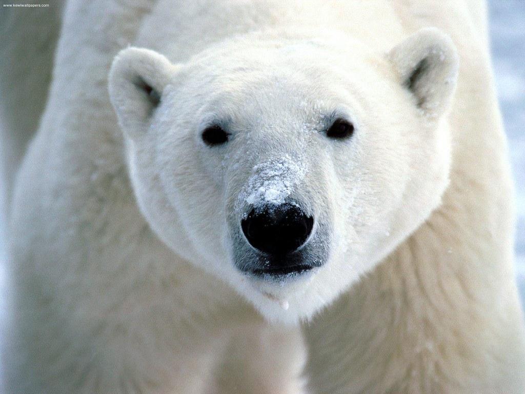 تعبير عن الدب القطبي بالانجليزي والعربي تعلم الانجليزية