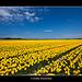 Yellow Fields - 1