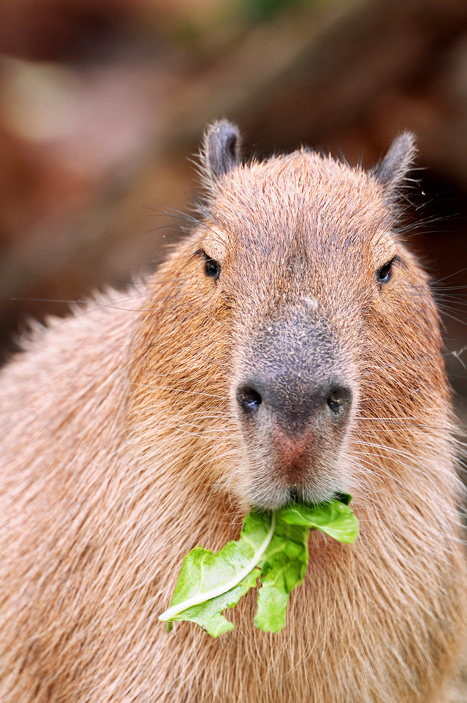 «Won't you let me finish my meal?» | A capybara of the zoo ...