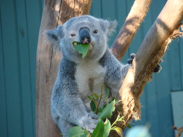 Koala Bear at Taronga Zoo | The Koala (Phascolarctos ...